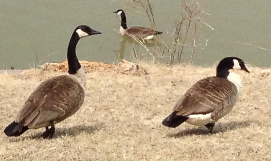 5538 Pregnant goose