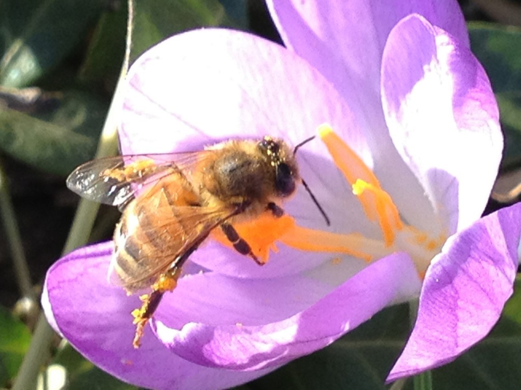 5574 bee on crocus