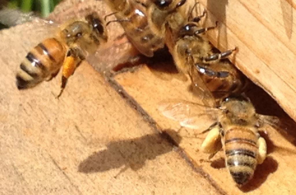 5894 Bees landing wi pollen