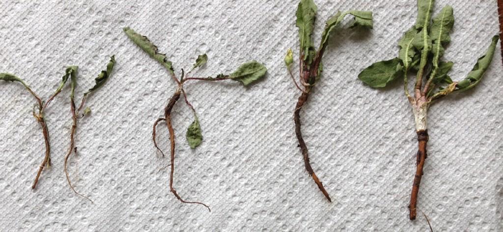 5920 misc dandelion roots
