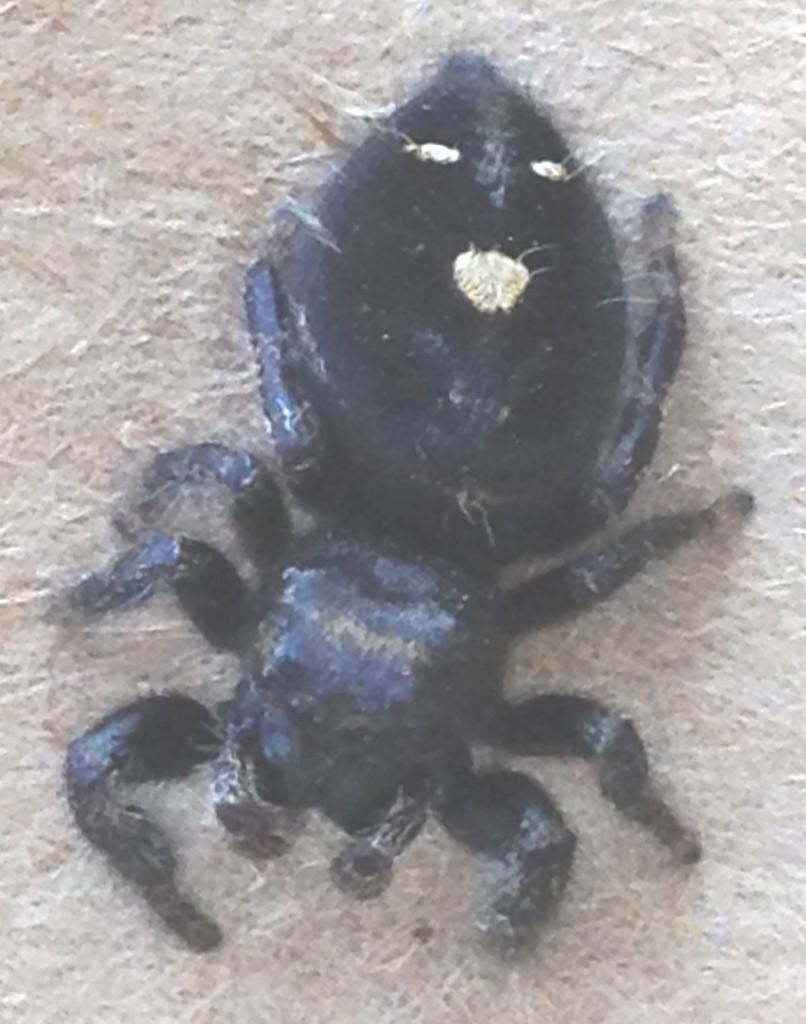 6027 Black Spider