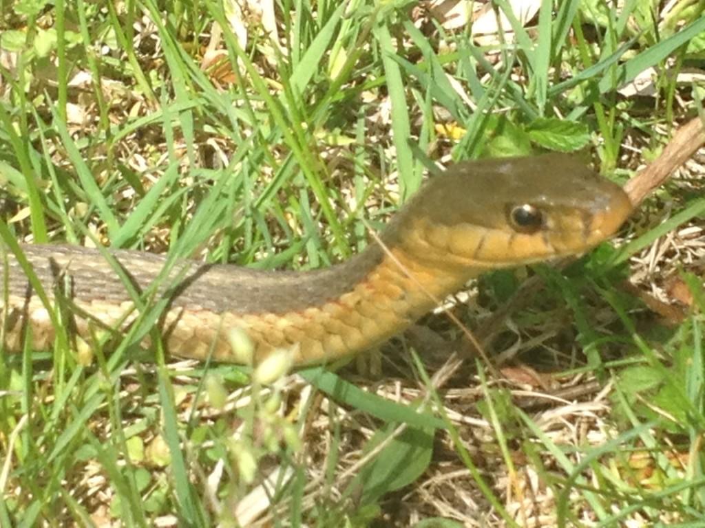 6097 Snake Head