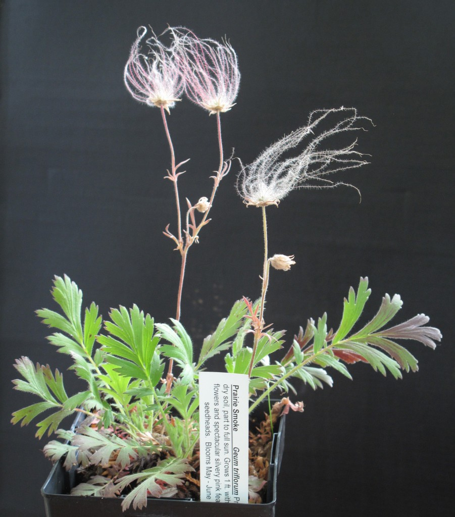 Geum triflorum_3167
