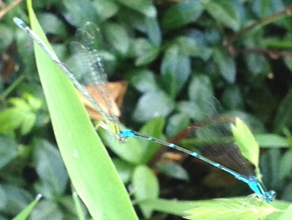 2 Blue Dragonflies_2474
