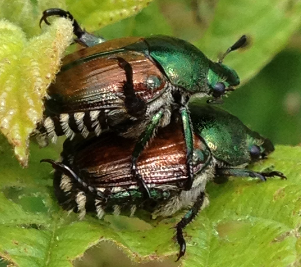2 Japanese Beetles_7240