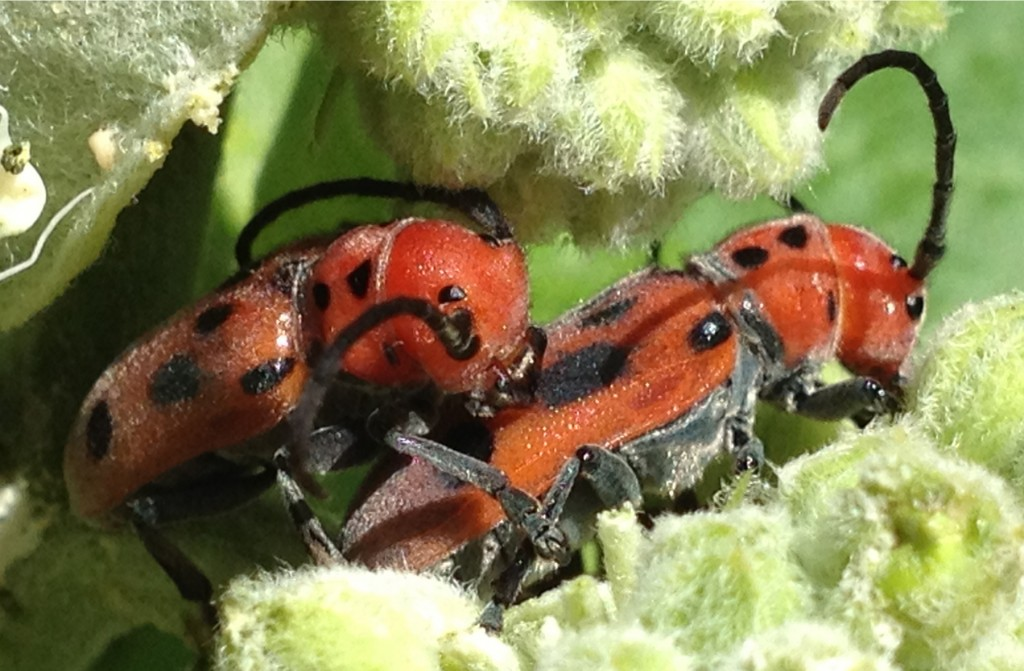 2 Red Bugs_6843