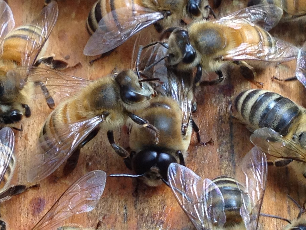 Drone bee vs worker bee - photo#19