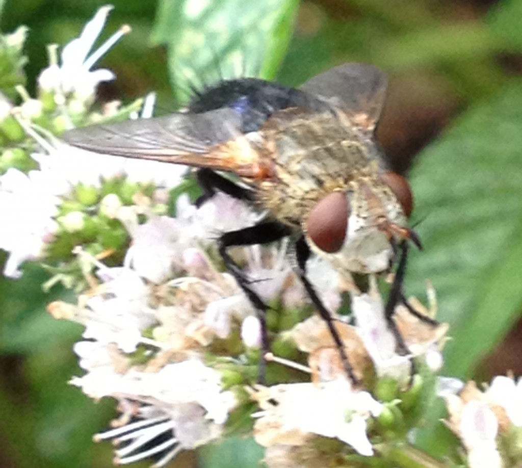 Grey Faced Fly Nov 24 981