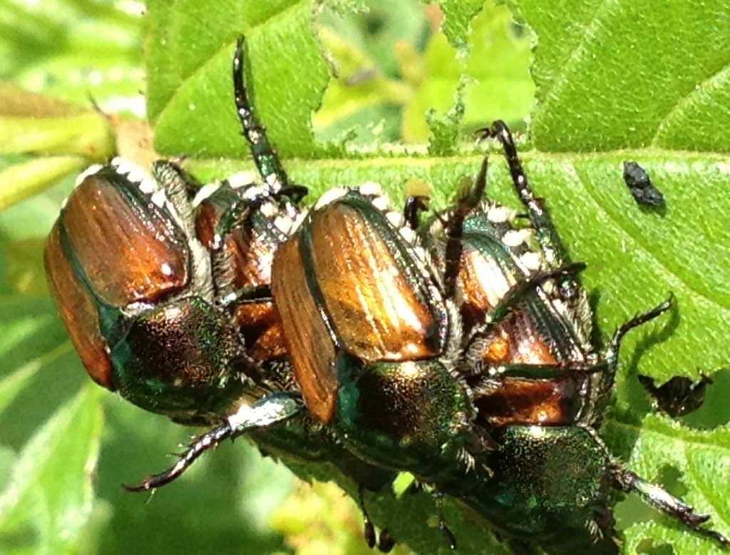 Many Japanese Beetles_7244
