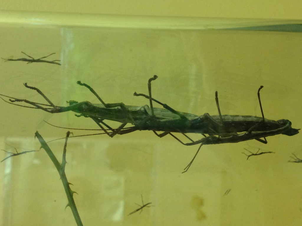Stick Insects_8328