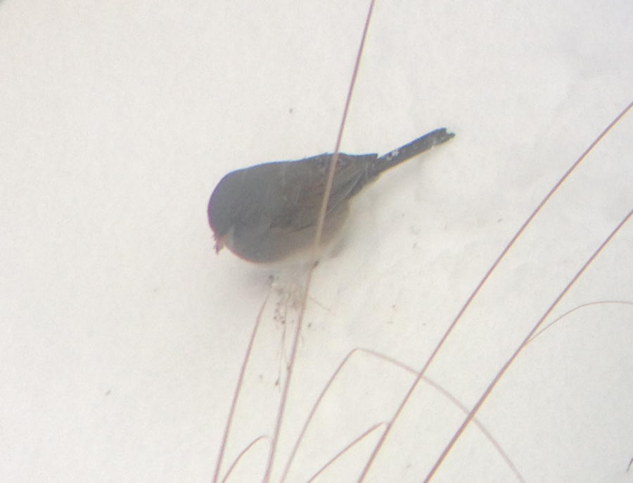 Junco on seed 4340