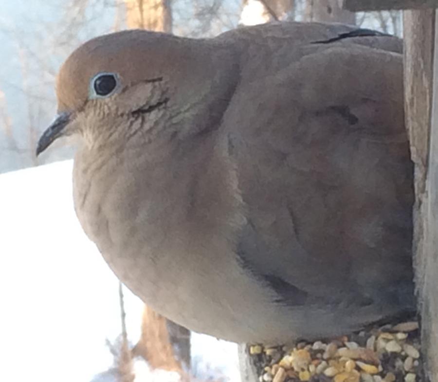 Fat Dove_9559