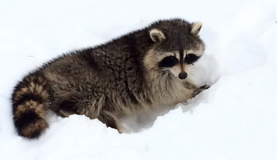 Raccoon_9164