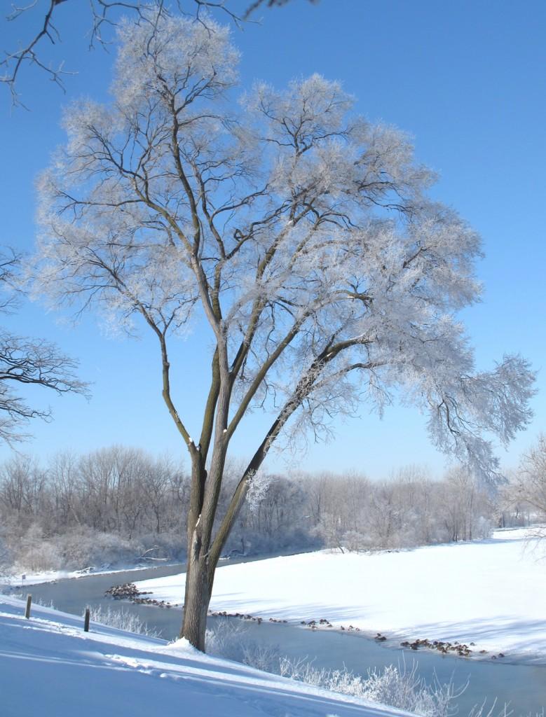 Tree icy_3377