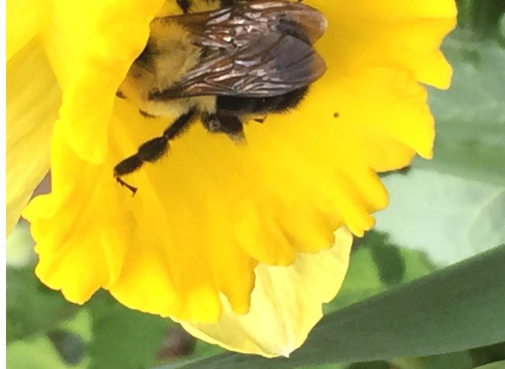 Bumblebee in Daffodil_r