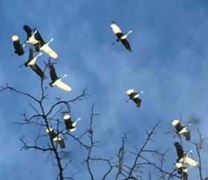Cranes 8746